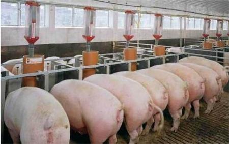 猪市寒冬,大猪场和小散户谁能成为未来主宰者?