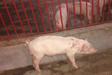 今日全国生猪出栏均价为11.27元/公斤,相比昨日下跌0.08元/公斤, 猪粮比6.27:1。以下是各地详细数据: