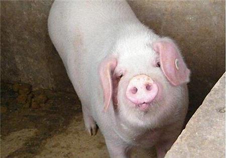 """猪价""""恶意""""降价的背后,给我国养殖业带来哪些影响?"""