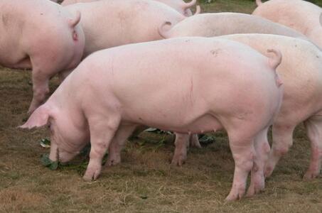 你如何知道自己的猪场是否有霉菌毒素危害?