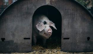 """几百个集约化猪场经验汇集:养猪""""百字诀"""""""
