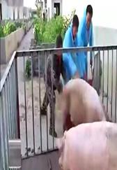 用同样的时间,只是多加了一项技术,每头猪就增重十斤以上