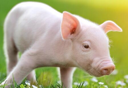 2018年06月03日(20至30公斤)仔猪价格行情走势