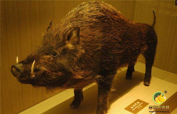 猪的演变过程....