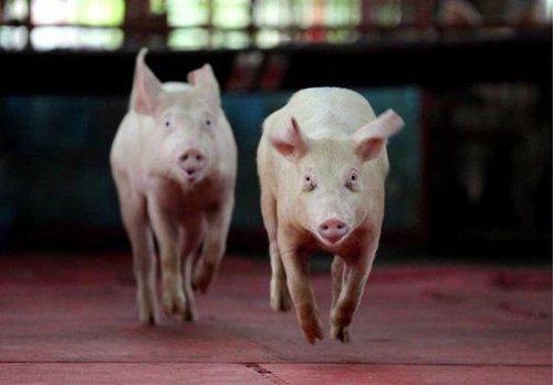猪只如何平稳度过炎炎夏日?