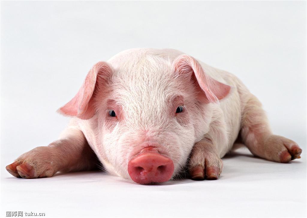 猪中暑治疗药方,中西医都有,效果杠杠的!