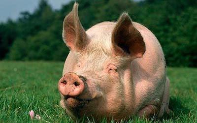 猪饲喂湿拌料?干粉料?颗粒料?聪明的你怎么选?