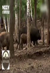 都说养猪不赚钱,他们的猪放山上,每头能赚3000块钱!