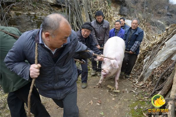 用一张白纸就骗走养猪户73万余元,一年辛苦打了水漂害惨养猪人!