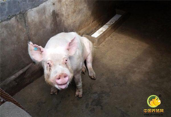 大别山区农妇饲养4头猪,长到500多斤,靠一项技术年收入10多万元