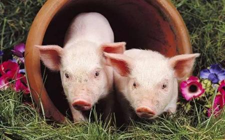 行情莫测的养猪时代,什么样的人最适合养猪?