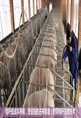 秸秆低成本养猪,养殖场想省钱的进来看看,附带秸秆发酵技术!