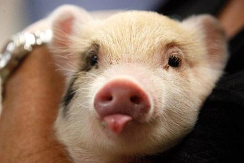 """炎暑来临,怎么帮助种猪度过""""夏季不育症""""?"""