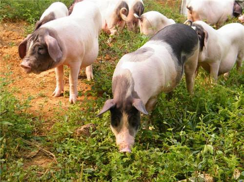 猪场如何做好栏舍清洗消毒及定期的抗体检测和病原监测?
