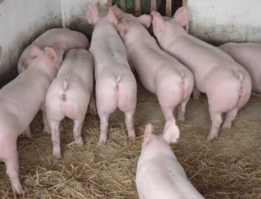 随着夏季的到来,气温升高,湿度变大,猪只很容易发病,因此必须对猪舍内环境温度进行控制,确保猪只安全越夏。今天天成小编跟大家分享一下夏季养猪要注意的几点