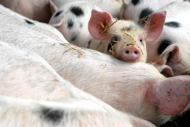 保育猪也就是断奶仔猪,是指断奶后至70日龄左右,一般保育期40天左右。保育阶段仔猪的好坏是规模化养猪场能否获得经济效益的重要因素之一,因此不可忽视。