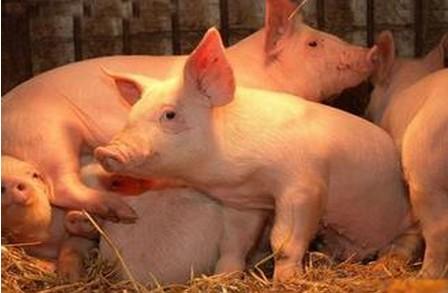 规模猪场控制仔猪腹泻的7大细节管理,经典!