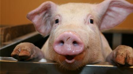 涨了!猪价稳中有涨,这天热的能在车上烤鱼,有肥猪的日子难熬!