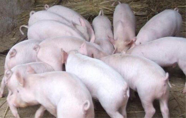 养猪最痛苦的事也莫过于此
