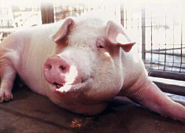 母猪多产奶有什么诀窍?