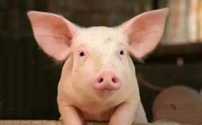 在养猪生产中猪病对利润的影响是巨大的,并且通常在临床疾病爆发的时候影响更大。早期感染会对猪的断奶体重和保育结束时的体重产生负面影响。