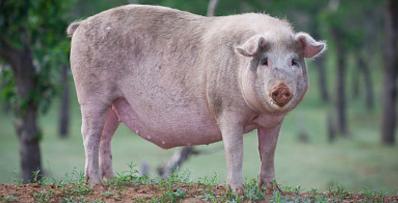 """母猪产后容易被""""狼""""攻击?养殖户得有所作为……"""