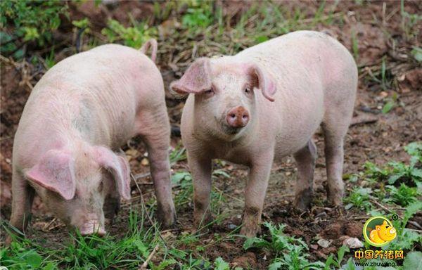 养猪人诊断猪病往往存在这六个误区!