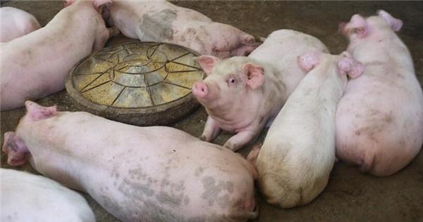 湖北宜昌:乡村,农民用颗粒饲料养猪!现在养猪能赚钱吗?