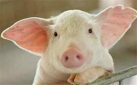 养猪人:没有了抗生素,我还养的好猪吗?