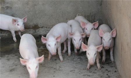2018年06月08日(15至19公斤)仔猪价格行情走势