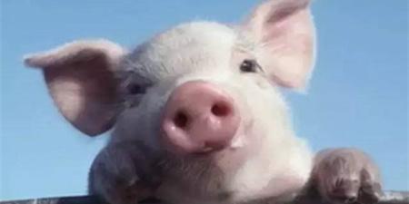 寄养仔猪何时接触母猪为宜,提高寄养成功的管理技术有哪些?在注射铁剂后,仔猪死亡的原因是什么?