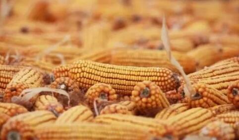 玉米市场风向:下半年具备大幅上涨基础!