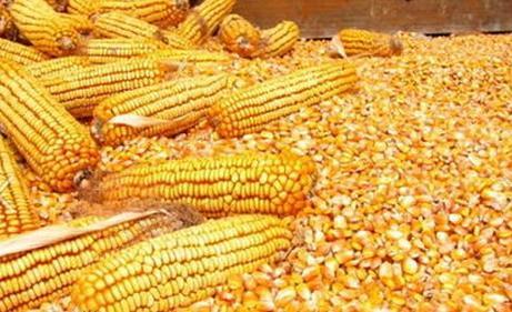 汉江养殖场长期求购玉米碎米油糠麸皮薯粉次粉等饲料原料