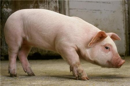2018年06月11日(20至30公斤)仔猪价格行情走势