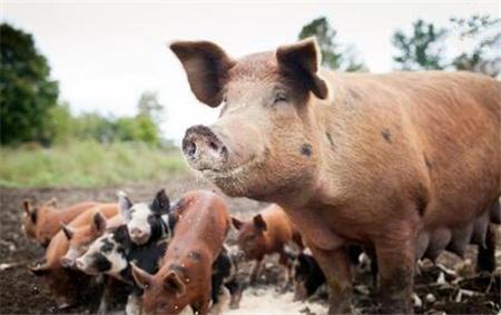 """生猪年出栏量最低2000头!绿色食品申请""""门槛""""提高"""