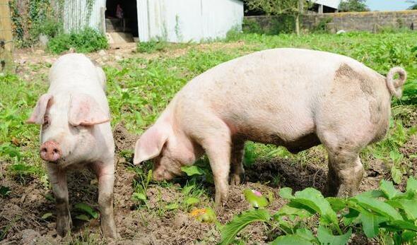 这样饲喂公猪,猪场生产成绩、效益翻一翻!