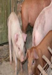 养猪经验:早学会了这套猪蓝耳防治技术,猪场也不会损失那么多头猪