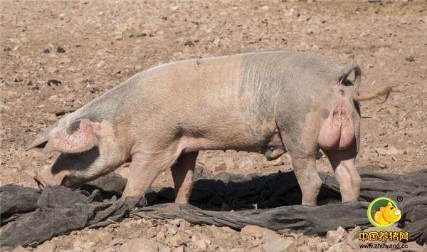 农村散养户越来越少,养猪户今年能否赚钱,带你去认识一下这些猪