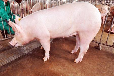 养猪场管理坚持这7点,让你的猪安全过夏!