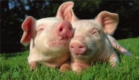 仔猪什么时间断奶最科学?关键要看这几点!