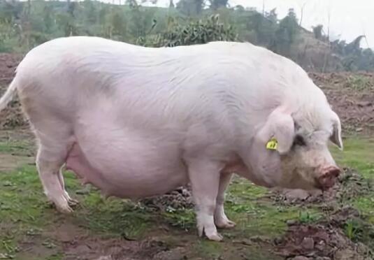 母猪拒绝哺乳、看看是不是这些原因造成的!
