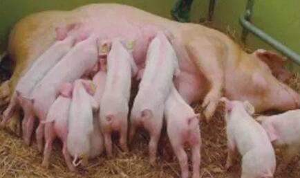 国际动物营养专家:母猪料添加剂市场在加快发展!