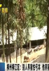 柳州柳江区:别人养猪怕亏本 他养猪年收入百万