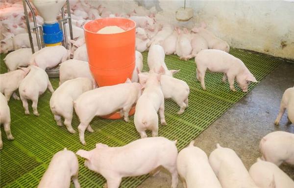猪市萎靡,如何才能最大限度的降低饲养成本,减少猪场损失呢?