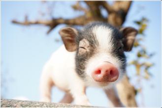 下半年生猪产能释放激增!猪价将何去何从?