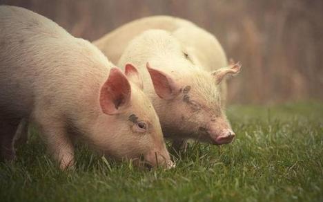 近期以来,猪肉价格出现大跳水,每公斤20元的价格成为市场常态,有时打折促销甚至低至每公斤14元。