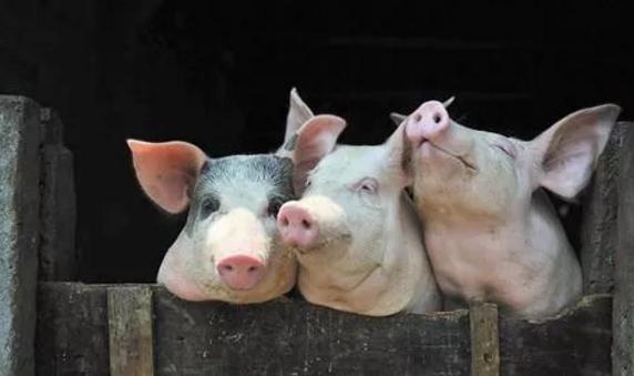 多地再掀生猪禁养潮,又一批养猪人将含泪告别!
