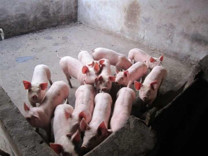 今日猪价行情上涨信息大家交流
