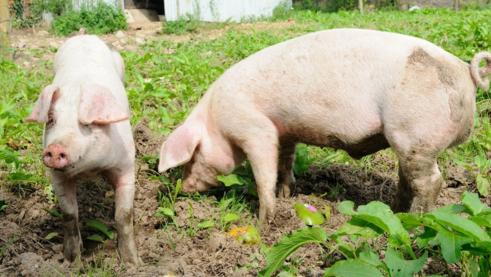 中国养猪业巨变!最后剩下谁?