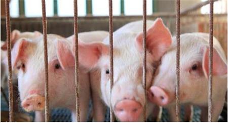 现代化养猪场的限位栏,您真的了解吗?